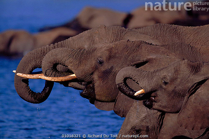 Elephants (Loxodonta africana) drinking at waterhole. Chobe NP, Botswana, Southern Africa (This image may be licensed either as rights managed or royalty free.)  ,  WATERHOLE,BOTSWANA,WINTER,DRINKING,MAMMALS,GROUPS,CHOBE,PROFILES,HEADS,PORTRAITS,PROBOSCIDS,SOUTHERN AFRICA,HORIZONTAL,ELEPHANTS,RF, royalty free, RF3,,RF3,,RF,  ,  Richard Du Toit