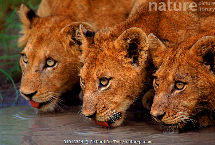 Lion cubs drinking at waterhole. Mala Mala Game Reserve, South Africa. (This image may be licensed either as rights managed or royalty free.)  ,  CARNIVORES,PORTRAITS,CUBS,MALAMALA,P,CUTE,DRINKING,RDT,HORIZONTAL,RESERVE,GROUPS,MAMMALS,WATERHOLE,AFRICA,FACES,SOUTHERN AFRICA,THREE,JUVENILE,LIONS,BIG CATS,RF, royalty free, RF3,,RF3,,RF,  ,  Richard Du Toit