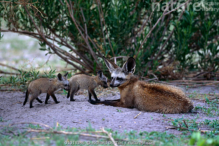 Bat eared fox, female with cubs (Otocyon megalotis) Moremi Reserve, Botswana  ,  BABIES,CANIDS,CARNIVORES,DOGS,FAMILIES,FEMALES,FOXES,MAMMALS,RESERVE,SOUTHERN AFRICA,VERTEBRATES  ,  Richard Du Toit
