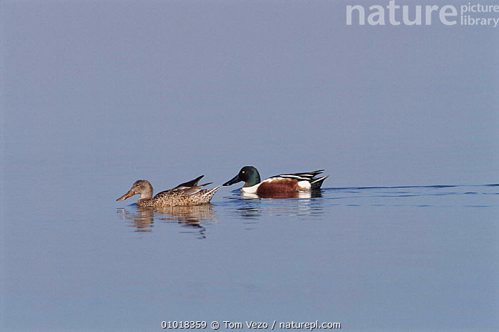 Male & female Shoveler on water, California, Bolsa Chica Reserve.  ,  WATERFOWL,TV,WATER,HORIZONTAL,,BIRDS,MALE FEMALE PAIR,WETLANDS,USA ,LAKES,NORTH AMERICA  ,  Tom Vezo