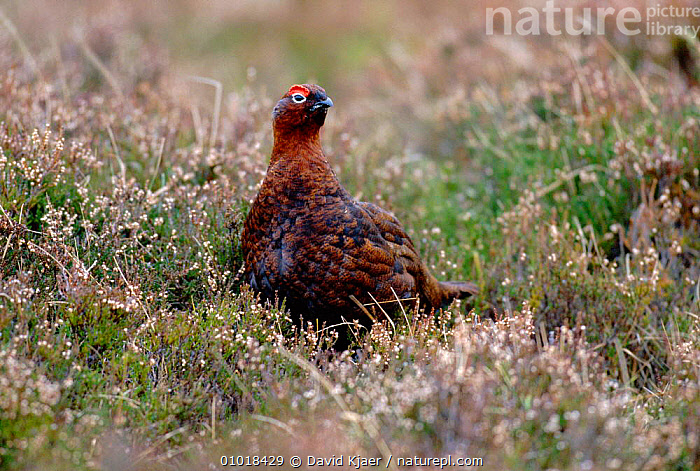 Male red grouse on heather moor (Lagopus lagopus coticus) Scotland  ,  BIRD,BIRDS,DK,EUROPE,MALES,MOORLAND,ONE,PLANTS,PORTRAITS,SCOTLAND  ,  David Kjaer