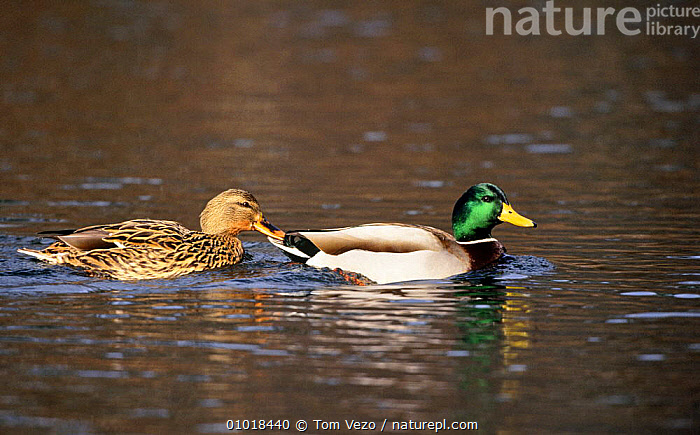 Drake (male) and duck (female) swimming on surface (Anas platyrhynchos) New York, USA  ,  BIRDS,DUCKS,LAKES,MALE FEMALE PAIR,NORTH AMERICA,PAIR,SWIMMING,TWO,USA,VERTEBRATES,WATER,WATERFOWL,WETLANDS  ,  Tom Vezo