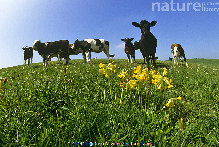 Cowslips (Primula veris) in field with cows, UK  ,  DICOTYLEDONS,ENGLAND,FARMLAND,FLOWERS,LIVESTOCK,MIXED SPECIES,PLANTS,PRIMULACEAE,UK,Europe,United Kingdom,British  ,  John Downer
