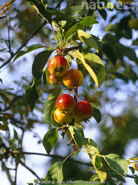 Crab apples (Mallus sp) on tree, UK  ,  AUTUMN,crab apple,DICOTYLEDONS,EUROPE,FRUIT,GARDENS,PLANTS,ROSACEAE,UK,VERTICAL,United Kingdom,British  ,  Chris O'Reilly