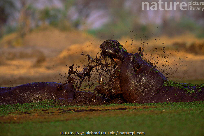 Male Hippos fighting over female (Hippopotamus amphibius) Kruger NP. S. Africa.  ,  RIVERS,SOUTHERN AFRICA,MOUTHS,NP,HIPPOPOTAMUSES,MALES,MAMMALS,ARTIODACTYLA,DOMINANCE,AFRICA,National Park  ,  Richard Du Toit