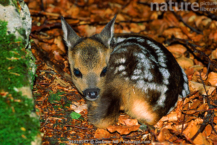 Young Roe deer (Capreolus capreolus) in leaf litter. Germany, Europe  ,  EUROPE,GERMANY,CUTE,LEAF,BABIES,MAMMALS,YOUNG,FAWN,ARTIODACTYLA,JUVENILE,LITTER,MIXED WOOD,PORTRAITS,VERTICAL  ,  Dietmar Nill