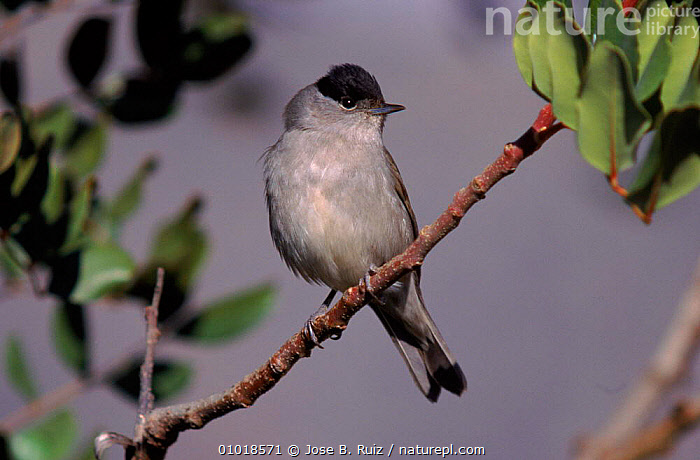 Blackcap male  perched on a branch, Spain  ,  PORTRAITS,EUROPE,MALES,PASSERINES,BIRDS,SPAIN,TREE,RR  ,  Jose B. Ruiz