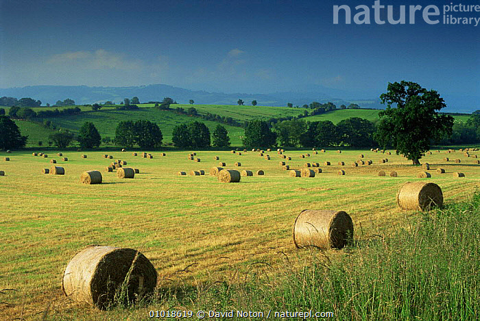 A field of Hay bales near Hay on Wye, Powys, Wales, UK.  ,  AGRICULTURE,COUNTRYSIDE,CROPS,EUROPE,FARMLAND,HARVESTING,HORIZONTAL,OUTSTANDING,UK,United Kingdom,British,WALES  ,  David Noton