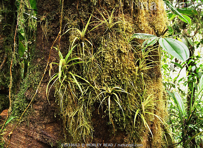 Bromelaids in the cloud forest at 1,500m, Western Ecuador  ,  CLOUD FOREST,MOSS,PLANTS,SOUTH AMERICA,TROPICAL CLOUDFOREST,TROPICAL RAINFOREST,TRUNKS  ,  MORLEY READ