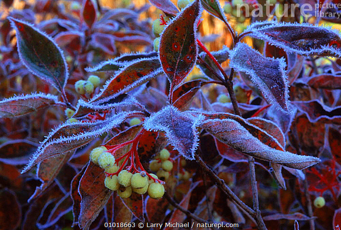 Red Osier Dogwood covered with frost, Wisconsin, USA  ,  DICOTYLEDONS, FROST, USA, WEATHER, ICE, LEAVES, NYSSACEAE, PLANTS, WINTER,North America  ,  Larry Michael