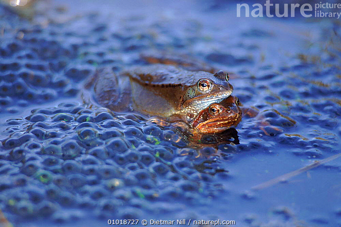 Common frogs spawning. Germany (Rana temporaria) amplexus  ,  HORIZONTAL,MATING BEHAVIOUR,FRESHWATER,SPAWNING,DN,,GERMANY,MALE FEMALE PAIR,AMPHIBIANS,AMPLEXUS,FROGS,EGGS ,LAKES,EUROPE,REPRODUCTION,ANURA  ,  Dietmar Nill