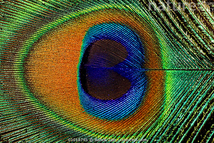 Close-up of the eye of a Peacock feather. (Pavo cristatus)  ,  BIRDS,FEATHER,PATTERNS,PEACOCK,HORIZONTAL,ARTY SHOTS,COLOURFUL,FEATHERS,MALES,CLOSE UP,CLOSE UPS  ,  Ashok Jain