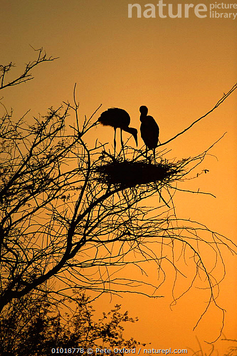 Painted Stork {Ibis leucocephalus} pair in tree silhouetted at Sunset,Keoladeo Bharatphur NP, India.  ,  ATMOSPHERIC,BIRDS,INDIAN SUBCONTINENT,MALE FEMALE PAIR,NP,OUTSTANDING,SILHOUETTES,STORKS,SUNSET,VERTEBRATES,VERTICAL,Asia,National Park,,UNESCO World Heritage Site,  ,  Pete Oxford