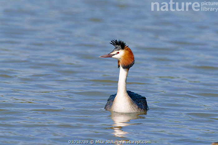 Great Crested Grebe on water (Podiceps cristatus)  UK  ,  BIRD,BIRDS,BRITISH,ENGLAND,EUROPE,LAKES,MW,ONE,UK,WATER,WATERFOWL,WILDLIFE,UNITED KINGDOM  ,  Mike Wilkes