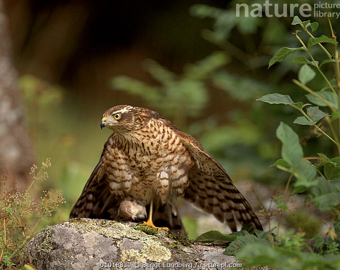 Sparrowhawk (female) with Whitethroat prey, Sweden  ,  ,FEMALE,SWEDEN,HORIZONTAL,VERTICAL,PREDATION,WHITETHROAT,BLU,SCANDINAVIA,EUROPE,BIRDS ,BIRDS OF PREY,BEHAVIOUR,HAWKS  ,  Bengt Lundberg
