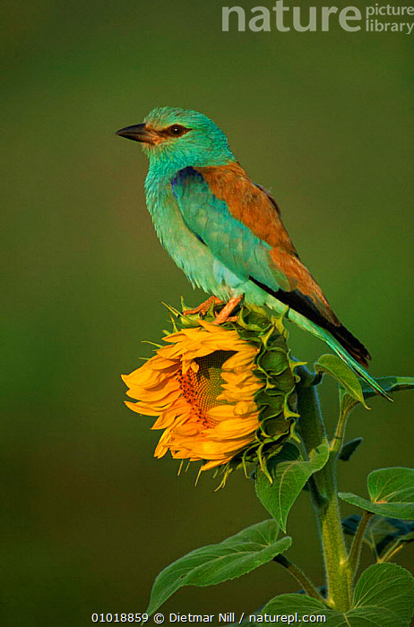 Common Roller perched on a Sunflower (Helianthus annuus), Germany  ,  FARMLAND,EUROPE,SUMMER,VERTICAL,YELLOW,ANNUUS,PLANTS,FLOWERS,GERMANY,SUNFLOWERS,DN,BIRDS,BLUE,OUTSTANDING,COLOURFUL,CROPS,HELIANTHUS  ,  Dietmar Nill