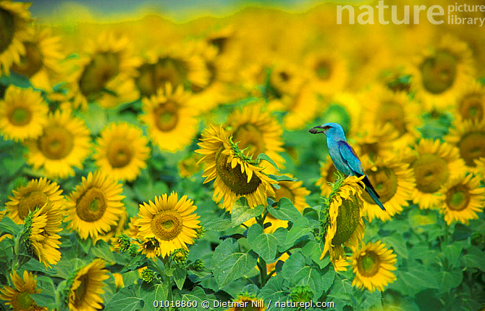 Common Roller in a field of Sunflowers. (Coracias garrulus) Germany.  ,  OUTSTANDING,GERMANY,FARMLAND,FLOWERS,COLOURFUL,CROPS,CUTE,BLUE,AGRICULTURE,BIRDS,PLANTS,ROLLERS,YELLOW,SUNFLOWERS,SUMMER,EUROPE  ,  Dietmar Nill