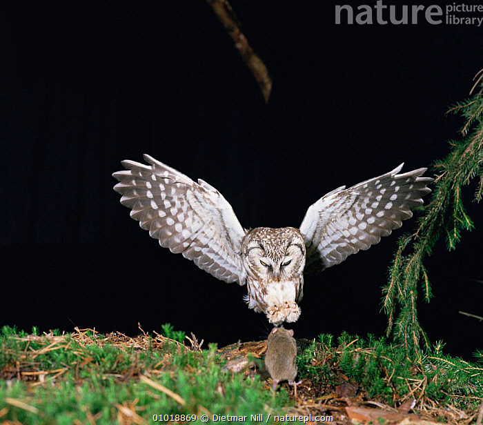 Tengmalm's Owl (Aegolius funerus) pouncing on mouse,  Germany  ,  BIRDS,BIRDS OF PREY,DRAMATIC,EUROPE,FEET,FLYING,GERMANY,HUNTING,MAMMALS,MIXED SPECIES,NIGHT,OWLS,PREDATION,VERTEBRATES,WINGS,Behaviour,Raptor  ,  Dietmar Nill