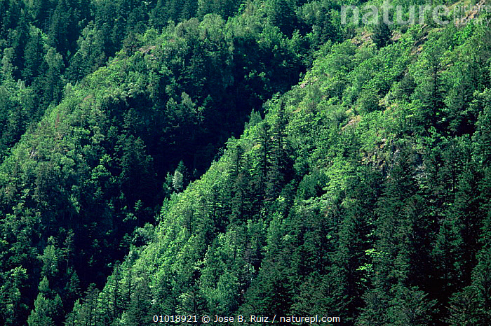 Mixed woodland in the Aigues Tortes - St. Mauricio NP, Pyrenees, Spain  ,  ALPINE,EUROPE,MIXED WOOD,MOUNTAINS,NP,RESERVE,SPAIN,WOODLANDS,National Park  ,  Jose B. Ruiz