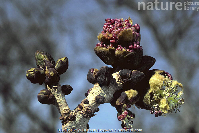 Close-up of buds on an Ash tree (Fraxinus excelsior) Scotland UK  ,  ARISTOLOCHIACEAE,BRANCHES,CLOSE UPS,DICOTYLEDONS,EUROPE,LEAVES,PLANTS,SCOTLAND,SPRING,TREES,UK,United Kingdom,British  ,  Duncan Mcewan