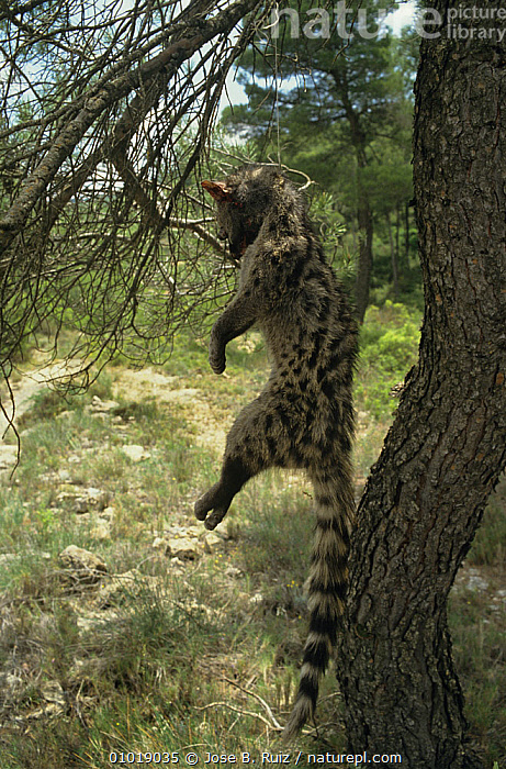 Small Spotted Genet (Genetta genetta) trapped, hanging by noose from tree, Spain  ,  CARNIVORES,DEATH,EUROPE,GENETS,HORRIFIC,MAMMALS,POACHING,SPAIN,TRAPPING,traps,VERTEBRATES,VERTICAL,Civets  ,  Jose B. Ruiz