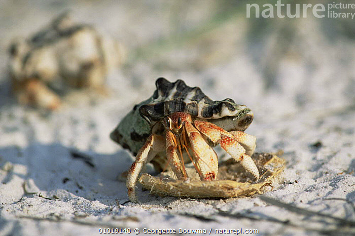 Land hermit crab (Coenobita perlatus) Laccadives, India  ,  ARTHROPODS,CRABS,CRUSTACEANS,HERMIT CRABS,INDIAN SUBCONTINENT,INVERTEBRATES,Asia  ,  Georgette Douwma