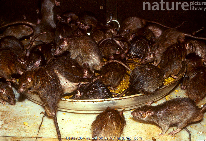 Black rats swarm over food bowl in temple, Bikaner, Rajasthan INDIA  ,  BIKANER,INDIA,DRAMATIC,TEMPLE,SWARM,GROUPS,RATS,AJ,INDIAN SUBCONTINENT,MAMMALS,FOOD,RODENTS,FEEDING,HORRIFIC,RAJSATHAN,ASIA,MURIDAE  ,  Ashok Jain