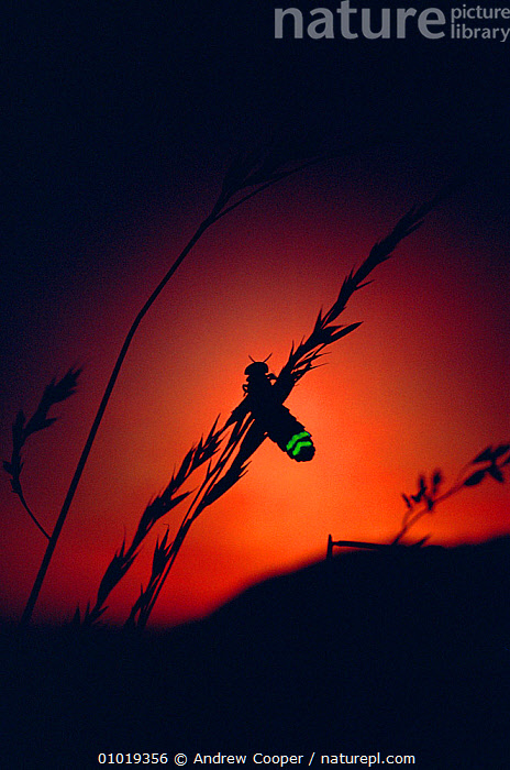 Glow Worm beetle female glowing at sunset to attract mate, Devon England (Lampyris noctiluca)  ,  backlit,BEETLES,BIOLUMINESCENCE,blade of grass,catalogue5,close up,COLEOPTERA,COMMUNICATION,Devon,DISPLAY,DUSK,ENGLAND,EUROPE,FIREFLIES,glowing,INDIVIDUALITY,INSECTS,INTERESTING,INVERTEBRATES,mating,NIGHT,Nobody,one animal,outdoors,REPRODUCTION,SUNSET,TAILS,UK,WILDLIFE,Concepts,United Kingdom,,bioluminescence,  ,  Andrew Cooper