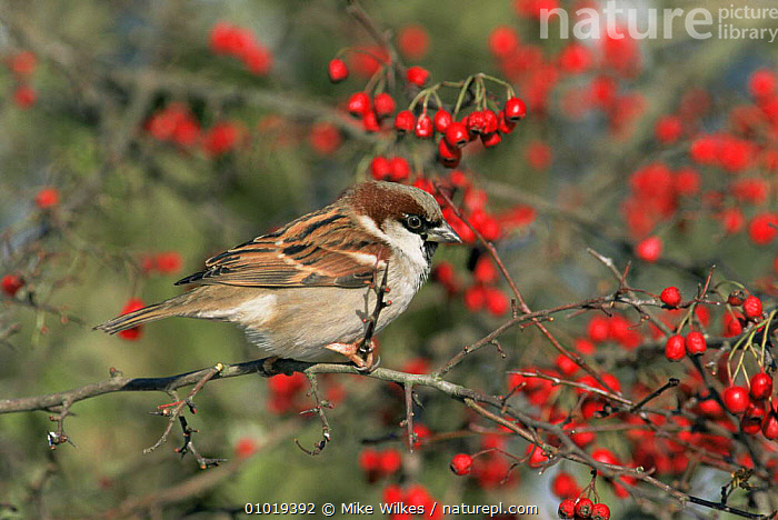 Male Common / House sparrow (Passer domesticus)in Hawthorn, UK  Worcestershire  ,  BIRDS,ENGLAND,EUROPE,MALES,PORTRAITS,SPARROWS,UK,VERTEBRATES,WINTER,United Kingdom,British  ,  Mike Wilkes