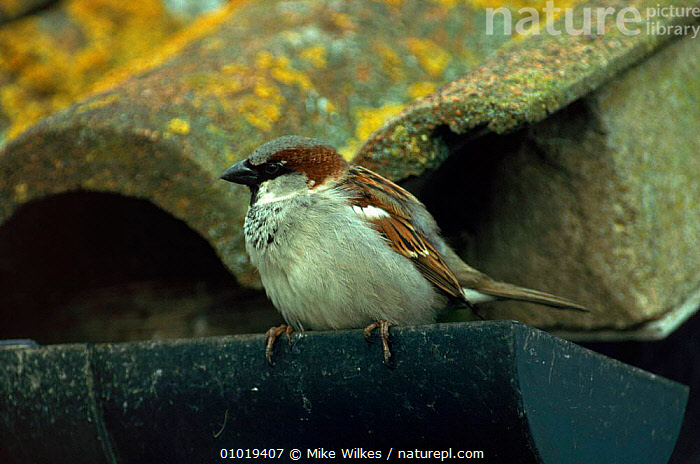 Male common (house) sparrow perched on gutter, Worcestershire, England  ,  BUILDINGS,EUROPE,MALES,WORCESTERSHIRE,ENGLAND,,PASSERINES,UK,PORTRAITS,BIRDS,HORIZONTAL,MW ,URBAN,UNITED KINGDOM,BRITISH  ,  Mike Wilkes