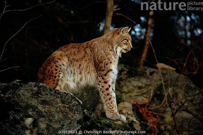 Lynx sitting on rock. C (Felis lynx) Bavaria NP, GERMANY  ,  CBE,HORIZONTAL,CARNIVORES,PORTRAITS,GERMANY,BAVARIA,NP,C,ROCK,EUROPE,MAMMALS,CATS,CAPTIVE,NATIONAL PARK  ,  Christoph Becker