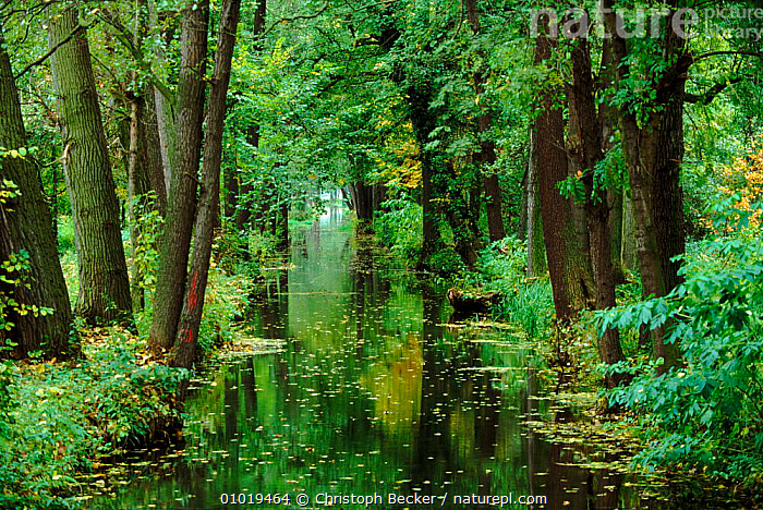 River running through woodland in Autumn. Spreewald, GERMANY  ,  AUTUMN,BROADLEAF,CBE,FRESHWATER,HORIZONTAL,LANDSCAPES,PLANTS,REFLECTIONS,RIVER,RIVERS,SPREEWALD,TREES,WOODLAND,Europe  ,  Christoph Becker