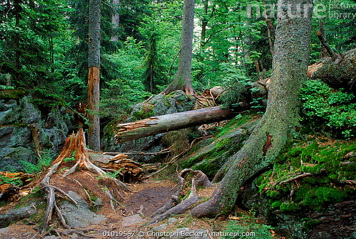 Bavarian Forest NP, Germany. Primeval Forest.  ,  ANCIENT,BAVARIAN,CBE,FOREST,HORIZONTAL,LICHENS,MIXED WOOD,MOSS,NATIONAL PARK,NP,PLANTS,PRIMEVAL,RESERVE,ROOTS,TREES,TRUNKS,WOODLAND,Europe  ,  Christoph Becker