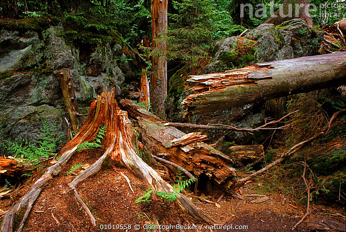 Bavarian Forest NP, Germany. Primeval Forest.  ,  PRIMEVAL,TRUNKS,NP,PLANTS,MIXED WOOD,BAVARIAN,ROOTS,CBE,FOREST,FALLEN,ANCIENT,LICHENS,TREES,NATIONAL PARK,Europe  ,  Christoph Becker