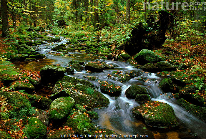 Bavarian Forest NP, Germany. Mountain stream in the autumn.  ,  ANCIENT,RESERVE,FOREST,GREEN,BAVARIAN,PEACEFUL,MOUNTAIN,NP,CBE,LEAVES,ATMOSPHERIC,MOSS,LANDSCAPES,AUTUMN,STREAM,PLANTS,,WOODLAND,BROADLEAF ,RIVERS,CONCEPTS,NATIONAL PARK,Europe  ,  Christoph Becker