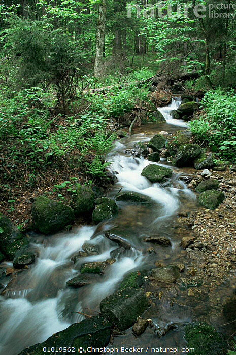 Mountains stream running through Bavarian Forest NP, Germany  ,  AUTUMN,BROADLEAF,EUROPE,FORESTS,GERMANY,HABITAT,LANDSCAPES,LEAVES,NP,PLANTS,RESERVE,RIVERS,streams,VERTICAL,WOODLANDS,National Park  ,  Christoph Becker