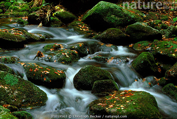 Bavarian Forest NP, Germany. Mountain stream in the autumn.  ,  ATMOSPHERIC,AUTUMN,BAVARIAN,BROADLEAF,CBE,CONCEPTS,FOREST,FRESHWATER,GREEN,LEAVES,MOSS,MOUNTAIN,NATIONAL PARK,NP,PEACEFUL,PLANTS,RESERVE,RIVERS,STREAM,Europe  ,  Christoph Becker