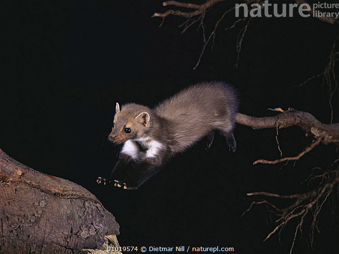 Beech marten (Martes foina) jumping between tree branches at night. Germany, captive  ,  ACTION,CARNIVORES,EUROPE,GERMANY,JUMPING,MAMMALS,MARTENS,MUSTELIDS,NIGHT,PORTRAITS,VERTEBRATES  ,  Dietmar Nill
