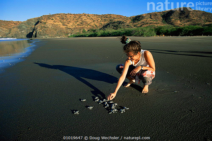 Biologist releases Olive Ridley turtle hatchlings from study nest, Santa Rosa NP Costa Rica  ,  BEACHES,CENTRAL AMERICA,CHELONIA,CONSERVATION,ENDANGERED,JUVENILE,NP,PEOPLE,REPTILES,RESEARCH,TURTLES,National Park, Turtles  ,  Doug Wechsler