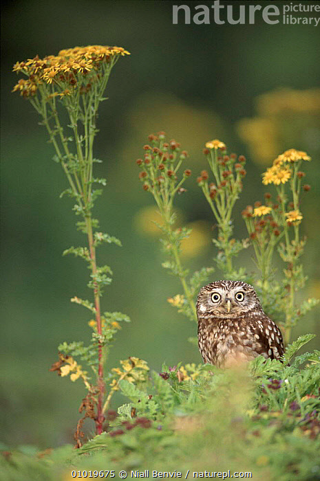 Male Little owl among ragwort, Scotland  ,  BIRDS,BIRDS OF PREY,BRITISH,CAPTIVE,EUROPE,FLOWERS,MALE,MALES,NB,NOCTURA,OWLS,RAGWORT,RAPTOR,SCOTLAND,UK,UNITED KINGDOM,VERTICAL  ,  Niall Benvie