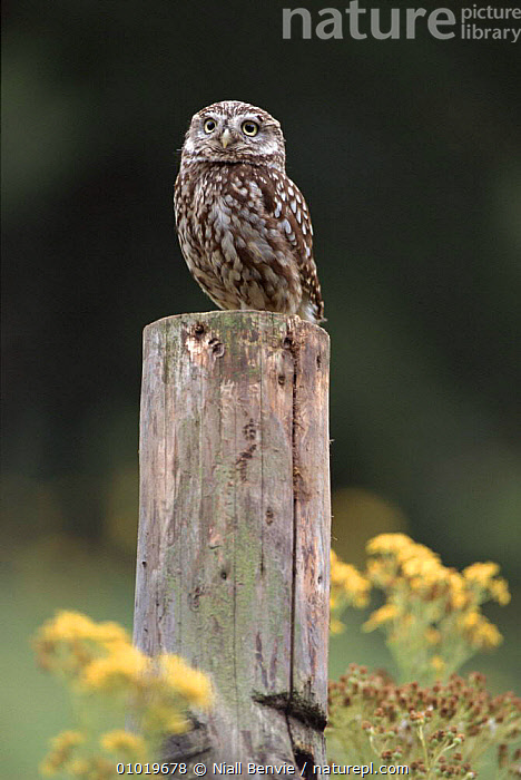 Male little owl perched on post. Scotland. Captive bird  ,  UK,MALES,PORTRAITS,VERTICAL,MALE,EUROPE,SCOTLAND,,POST,NB ,BIRDS OF PREY,UNITED KINGDOM,BRITISH,OWLS,RAPTOR  ,  Niall Benvie