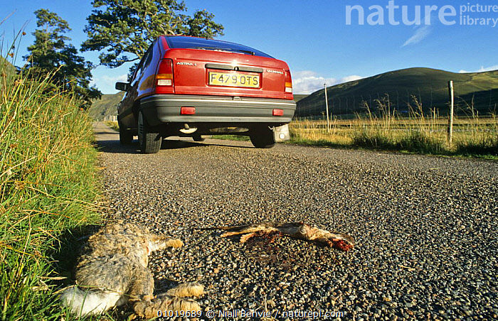 Dead Rabbit (Oryctolagus cuniculus) and Stoat on road (Mustela erminea) Scotland, UK  ,  CARS,DEATH,EUROPE,LAGOMORPHS,MAMMALS,MIXED SPECIES,RABBITS,ROADKILL,ROADS,SCOTLAND,TRAFFIC,UK,VEHICLES,VERTEBRATES,United Kingdom,British,car, United Kingdom  ,  Niall Benvie