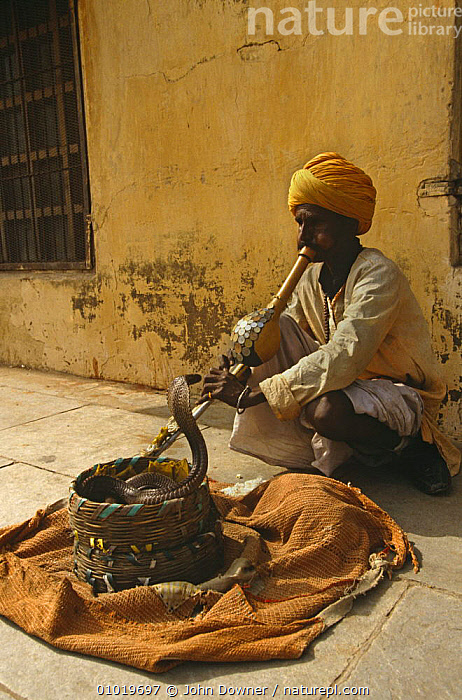 Snake Charmer with trained Asian cobra (Naja naja) Rajasthan, India  ,  CITIES,COBRAS,CULTURES,DOMESTICATED,IMPRINTED,INDIAN SUBCONTINENT,PEOPLE,REPTILES,SNAKES,TOURISM,TRADITIONAL,TRAINED,URBAN,VERTEBRATES,Asia, Cobras  ,  John Downer