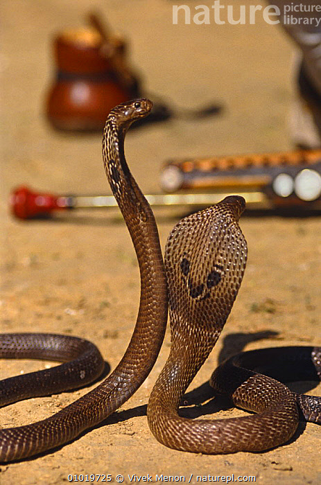Captive Asian cobras (Naja naja) trained for tourism snake charmer displays, New Delhi, India  ,  CAPTIVE,CITIES,COBRAS,CULTURES,DOMESTICATED,IMPRINTED,INDIAN SUBCONTINENT,REPTILES,SNAKES,TOURISM,TRADITIONAL,URBAN,VERTEBRATES,VERTICAL,Asia, Cobras  ,  Vivek Menon