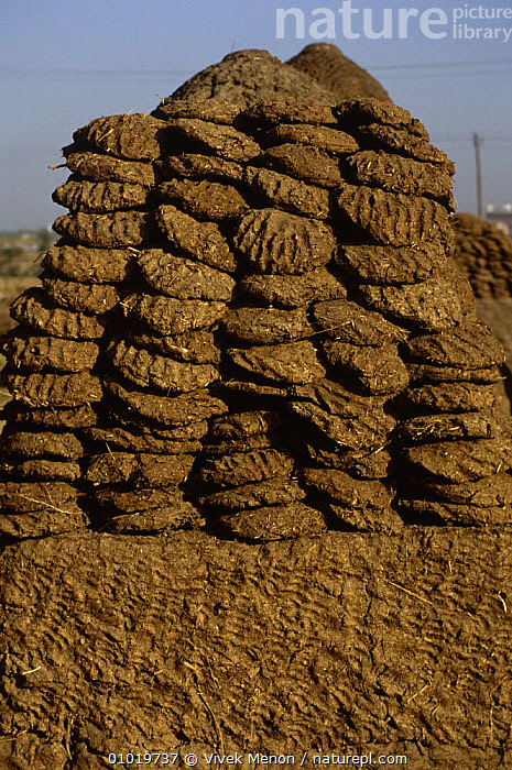 Pile of cow dung patties used for fuel, New Delhi, India  ,  ARTIODACTYLA,BIOGAS,BOVIDS,CATTLE,ENERGY,ENVIRONMENT,ENVIRONMENTAL,FAECES,FUEL,INDIA,INDIAN SUBCONTINENT,MAMMALS,NATURAL RESOURCES,RECYCLING,VERTEBRATES,VERTICAL,Asia  ,  Vivek Menon