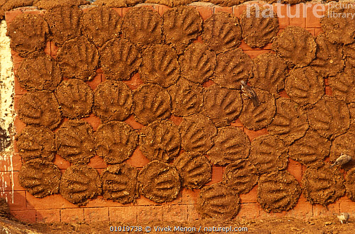 Cow dung patties used for fuel, New Delhi, India  ,  ARTIODACTYLA,BOVIDS,CATTLE,ENERGY,ENVIRONMENT,ENVIRONMENTAL,FAECES,FUEL,INDIAN SUBCONTINENT,MAMMALS,NATURAL RESOURCE,RECYCLING,VERTEBRATES,Asia  ,  Vivek Menon