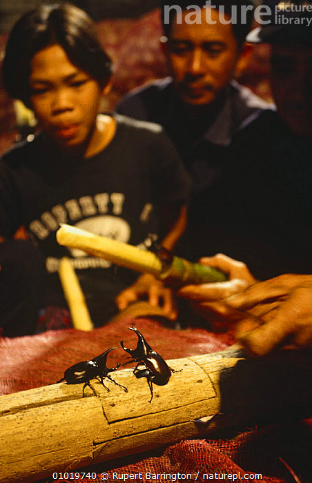 People watch and bet on Rhinoceros beetle fight (Oryctes) Chang Mai, Thailand  ,  BEETLES,BETTING,COLEOPTERA,CULTURES,FIGHTING,GAMBING,INSECTS,INVERTEBRATES,MALES,PEOPLE,SCARAB BEETLES,SOUTH EAST ASIA,TRADITIONAL,TROPICS,VERTICAL,Asia,Aggression,Concepts  ,  Rupert Barrington