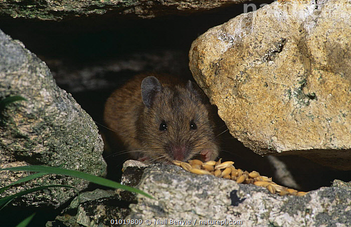 St Kilda Island wood mouse {Apodemus sylvaticus hirtensis} portrait amongst rocks, Scotland  ,  EUROPE,FEEDING,HIDING,MAMMALS,MICE,PORTRAITS,RODENTS,SCOTLAND,UK,VERTEBRATES,United Kingdom,British,Muridae , Outer Hebrides  ,  Niall Benvie