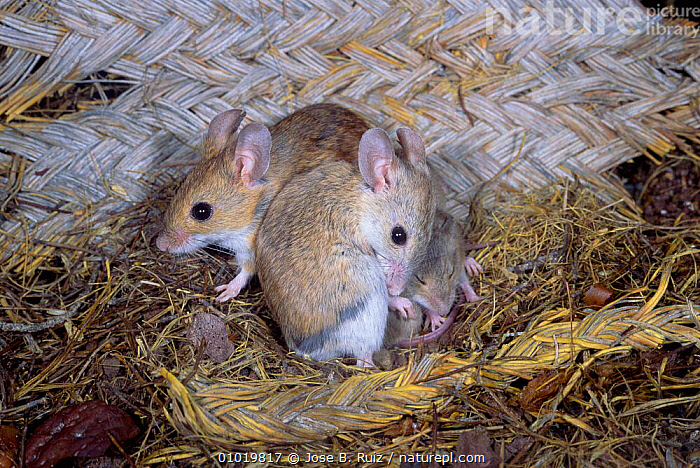 Wood Mice nest with young. (Apodemus sylvaticus) Spain  ,  EUROPE,BABIES,FAMILIES,MAMMALS,HOMES,RODENTS,YOUNG,Muridae  ,  Jose B. Ruiz