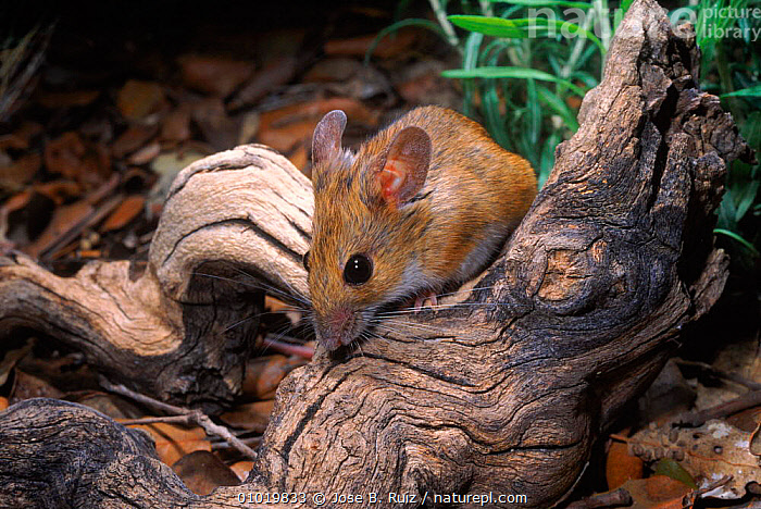 Wood Mouse (Apodemus sylvaticus) on dead branch. Spain  ,  EUROPE,RODENTS,MAMMALS,RR,SPAIN,MOUSE,HORIZONTAL,MURIDAE  ,  Jose B. Ruiz
